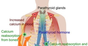 What is the Difference Between Calcitonin and Parathyroid Hormone
