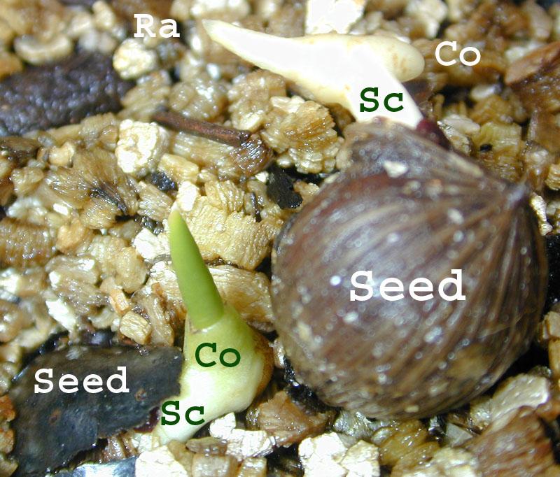 Coleoptile vs Coleorhiza