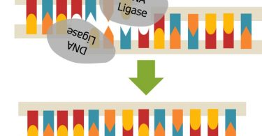 What is the Difference Between DNA Ligase and DNA Polymerase