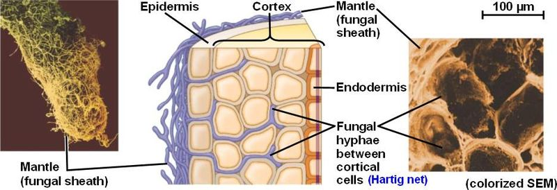 Difference Between Ectomycorrhizae and Endomycorrhizae