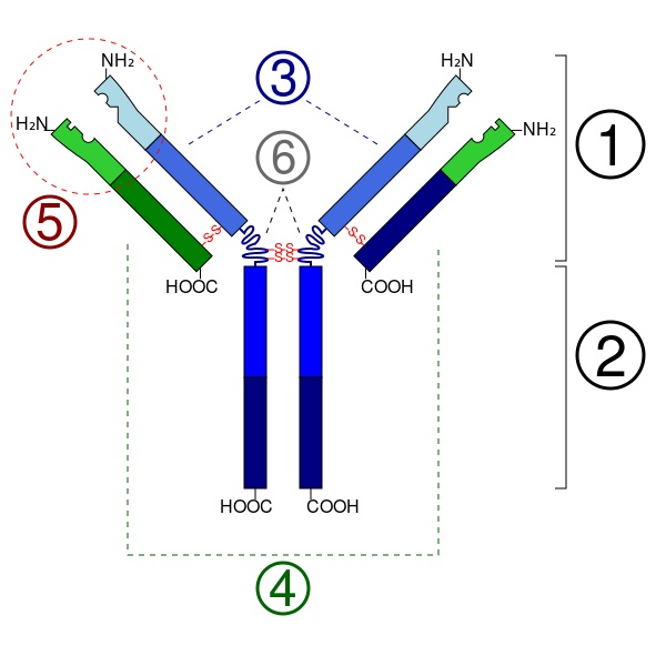 What is the Difference Between Epitope and Paratope