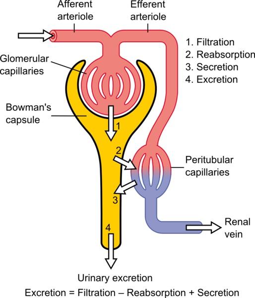 Excretion vs Osmoregulation