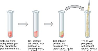 Difference Between Genomic DNA and Plasmid DNA Isolation