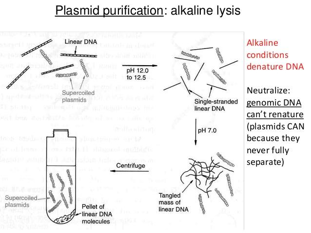 Genomic DNA vs Plasmid DNA Isolation