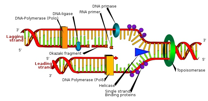 PCR vs DNA Replication