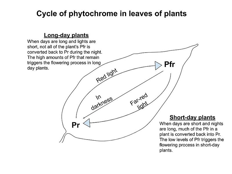 Difference Between Photoperiodism and Phototropism
