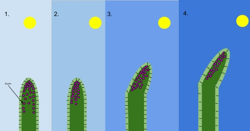What is the Difference Between Photoperiodism and Phototropism