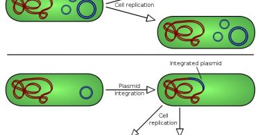 What is the Difference Between Plasmid and Episome