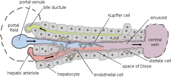 Sinusoids vs Capillaries