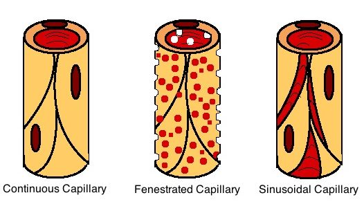 What is the Difference Between Sinusoids and Capillaries