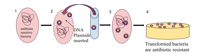 Difference Between Transformants and Recombinants