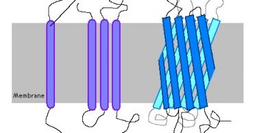 Difference Between Transmembrane and Peripheral Proteins