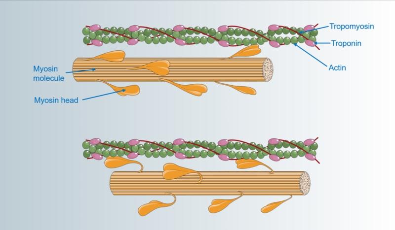Troponin vs Tropomyosin