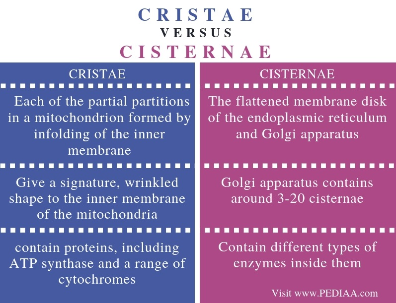 Difference Between Cristae and Cisternae - Comparison Summary