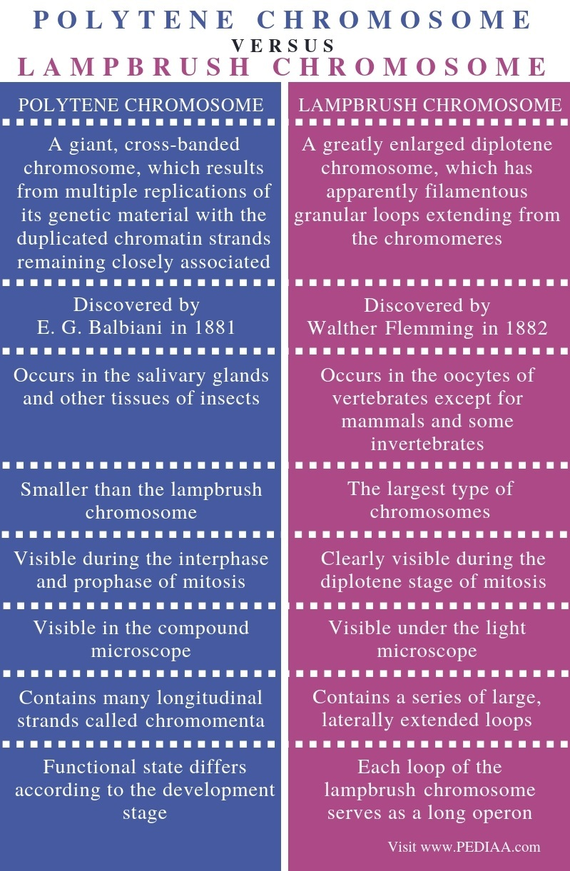 Difference Between Polytene and Lampbrush Chromosome - Comparison Summary (2)
