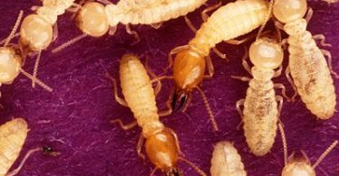 Difference Between Termites and White Ants