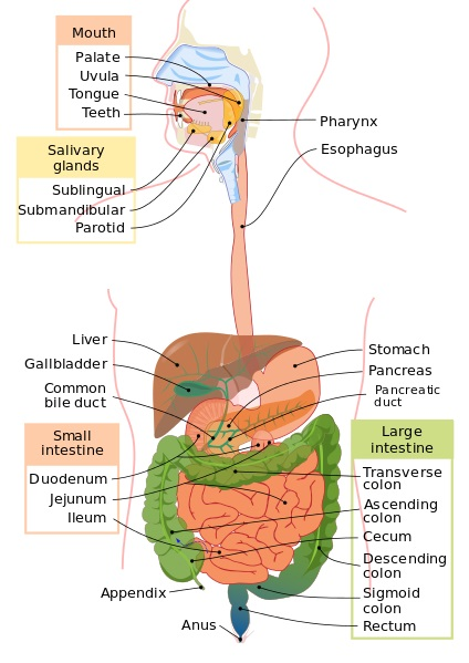 Difference Between Alimentary Canal and Gastrointestinal Tract