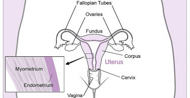 Difference Between Placenta and Uterus
