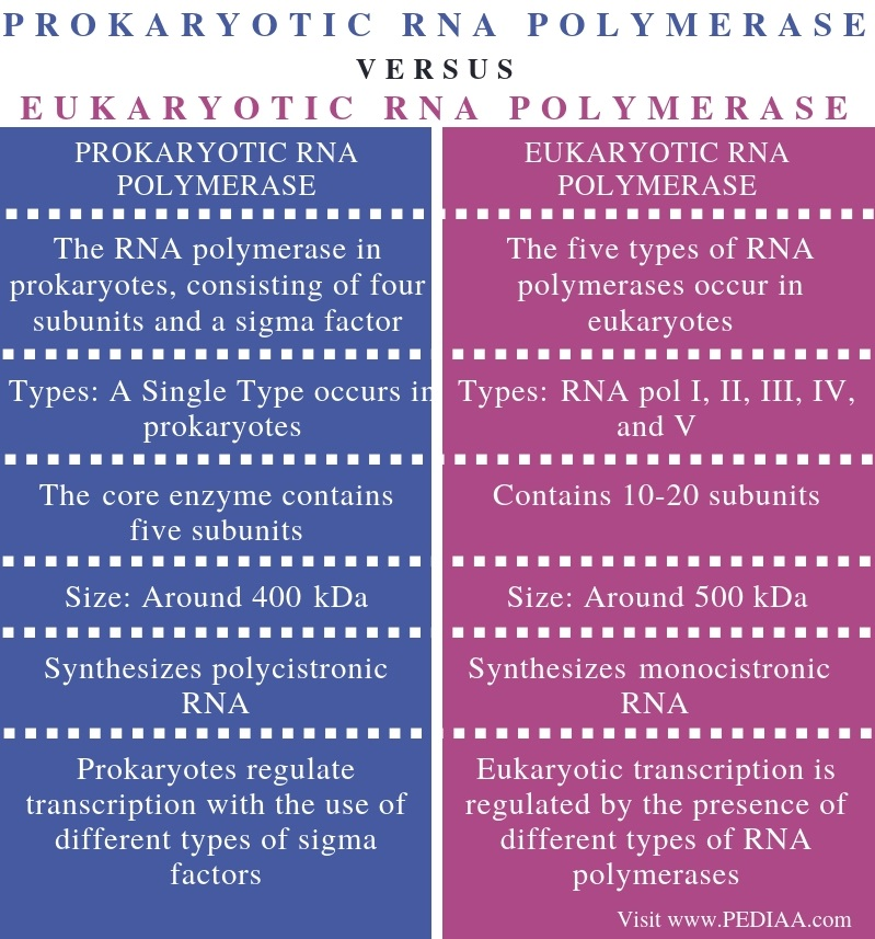 Difference Between Prokaryotic and Eukaryotic RNA Polymerase - Comparison Summary