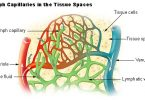 Similarities Between Lymphatic Vessels and Blood Vessels