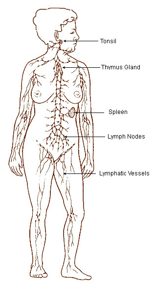 Lymphatic Vessels and Blood Vessels