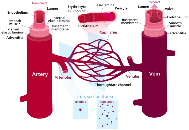 Lymphatic Vessels vs Blood Vessels
