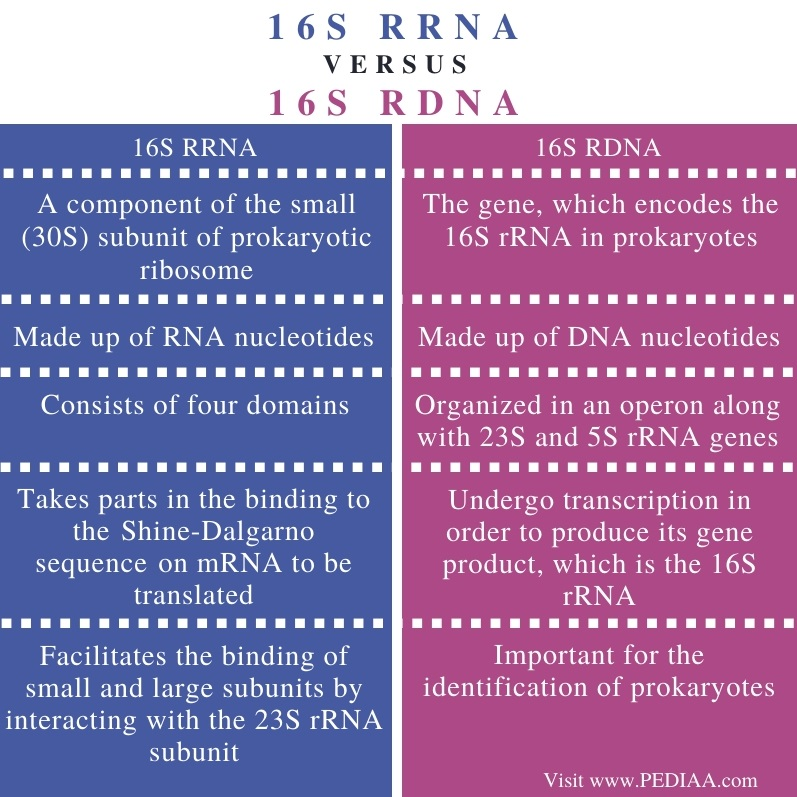 Difference Between 16s rRNA and 16s rDNA - Comparison Summary