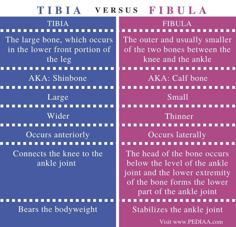 Difference Between Tibia and Fibula - Comparison Summary