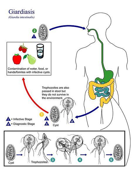 cryptosporidium și giardia duodenalis