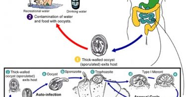 Difference Between Cryptosporidium and Giardia