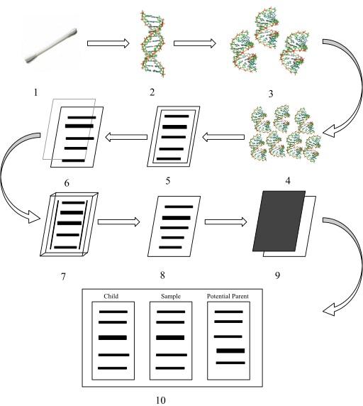 Main Difference - DNA Fingerprinting vs DNA Profiling