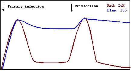 Immune Response of IgM and IgG