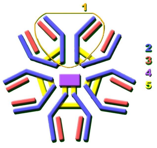 IgM Structure