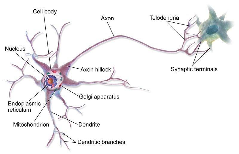 Difference Between Neurons and Glial Cells