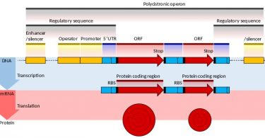 Difference Between Prokaryotic and Eukaryotic mRNA