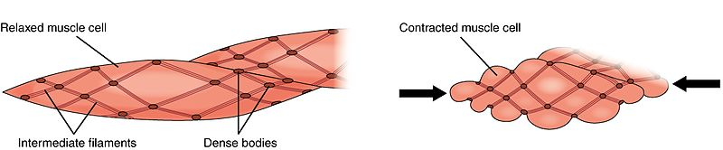 Skeletal vs Smooth Muscle Contraction