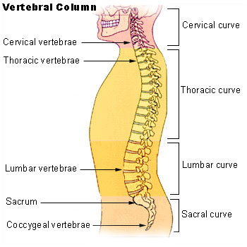 Main Difference - Spinal Cord vs Spinal Column