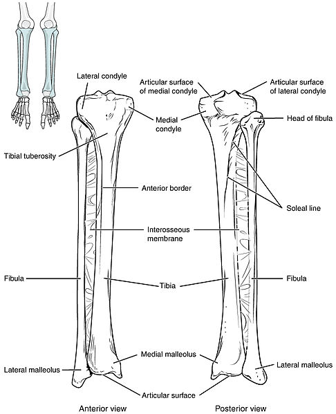 Difference Between Tibia and Fibula