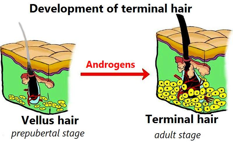 What is the Difference Between Vellus and Terminal Hair