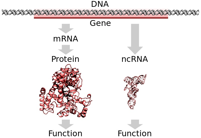 Compare Coding vs Noncoding DNA