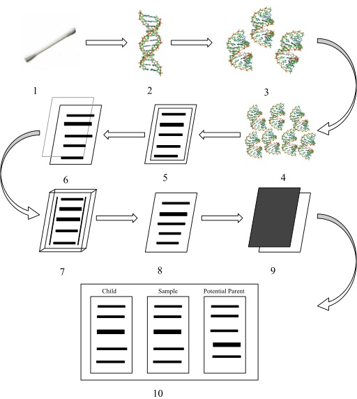 DNA Profiling Procedure