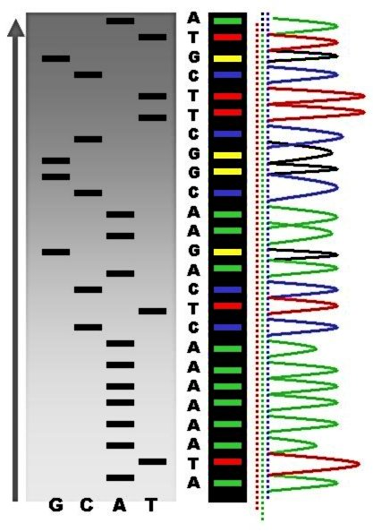 Difference Between DNA Profiling and DNA Sequencing