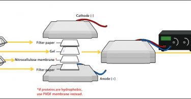 Difference Between Nitrocellulose and PVDF Membrane