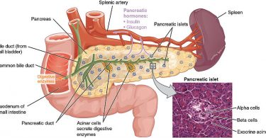 Difference Between Pancreas and Spleen