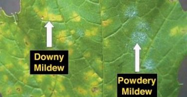 What is the Difference Between Powdery and Downy Mildew