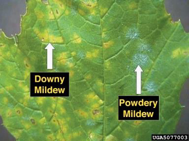 Difference Between Powdery and Downy Mildew