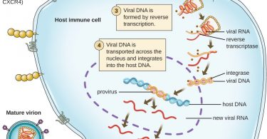 What is the Difference Between Prophage and Provirus