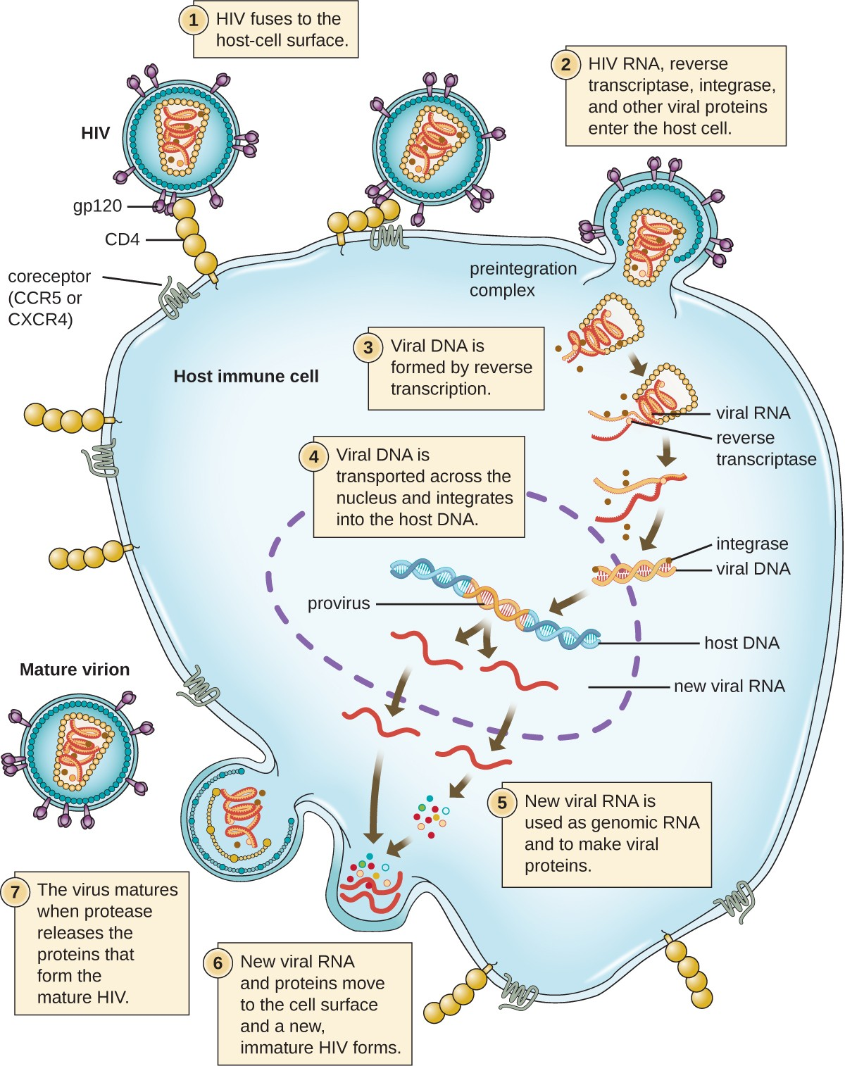 Difference Between Prophage and Provirus