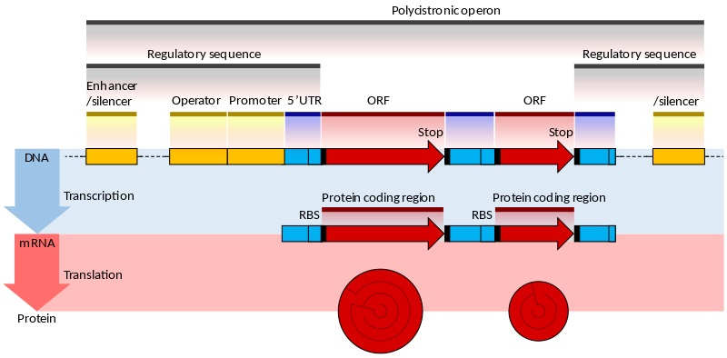 Prokaryotic and Eukaryotic Gene Expression