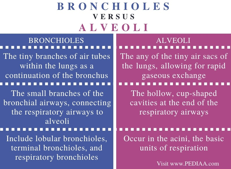 Difference Between Bronchioles and Alveoli - Comparison Summary